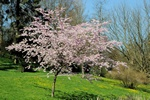 Japansk Prydkirsebr (Prunus serrulata)